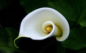 Калла - необычная форма цветка