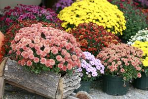 Корейские хризантемы - особенности растения