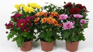 Хризантема Свифти микс - период цветения