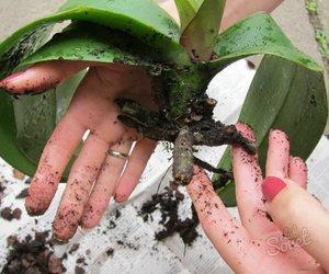 Как и когда рассаживать орхидеи в домашних условиях