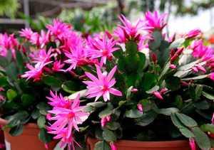 Буйное цветение пасхального кактуса