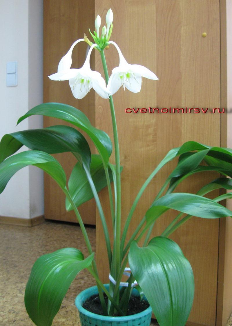 Луковичные цветы уход в домашних условиях фото 579