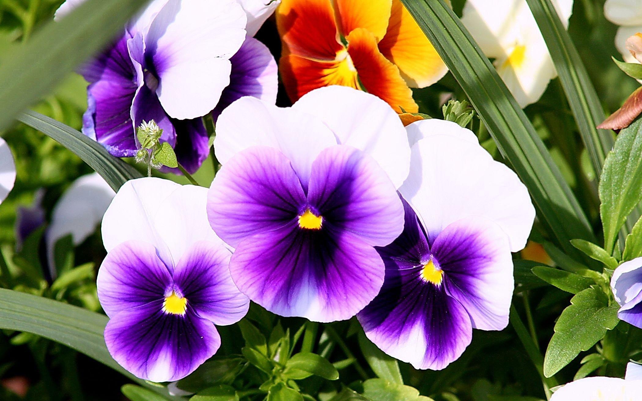 Комнатный цветок с ягодами название фото