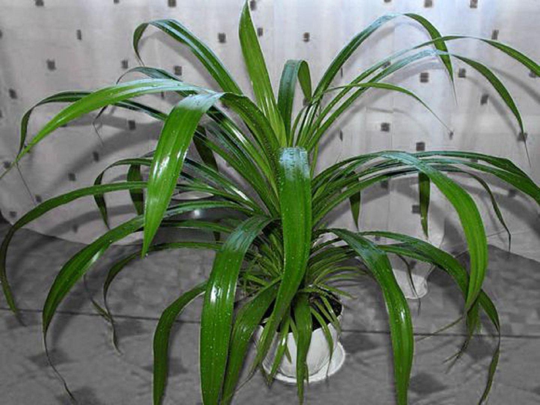 Комнатный цветок с колючими длинными листьями как называется