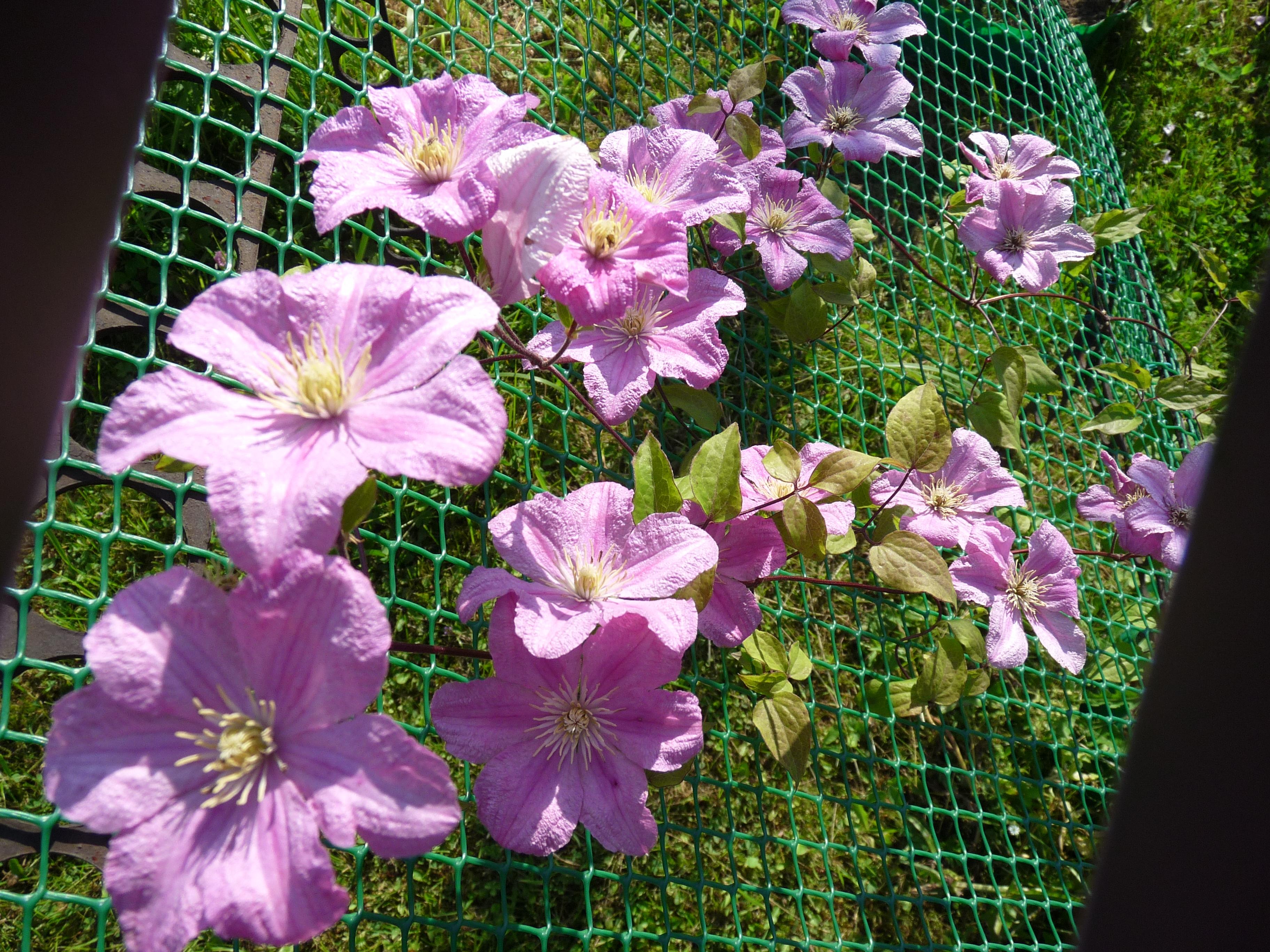 Клематис выращивание из семян фото
