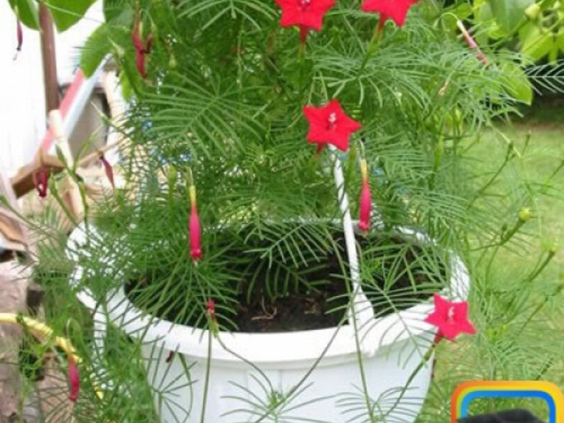Выращивание квамоклита из семян
