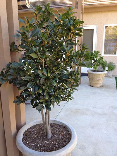 Уход за лавровым деревом в домашних условиях 206