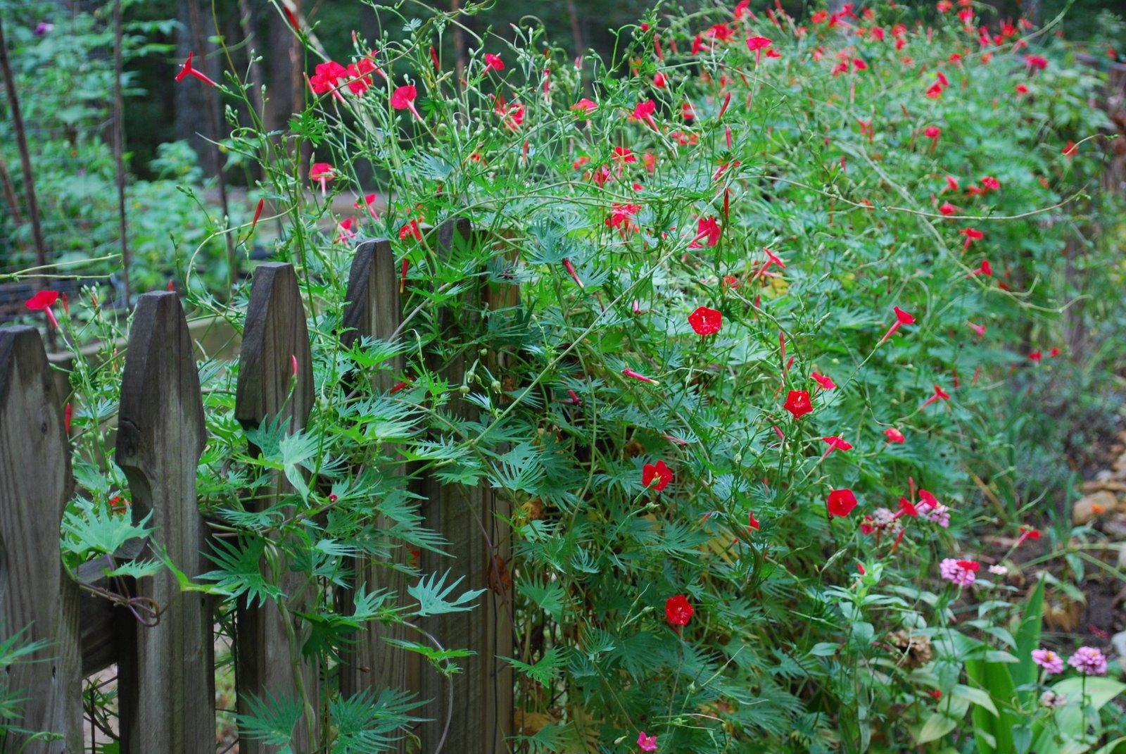 Цветы лианы садовые однолетние фото