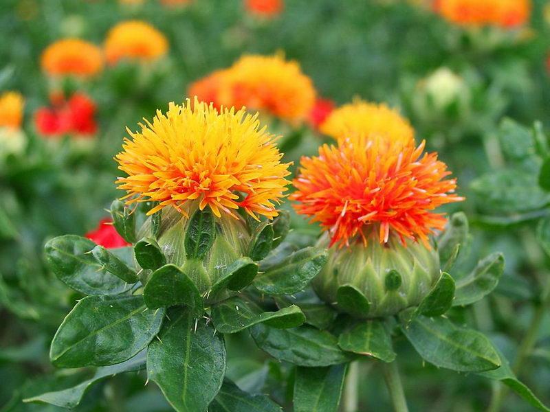 Агротехника выращивания сафлора 12