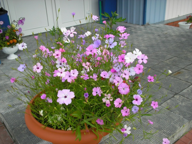 Смолевка выращивание из семян когда сажать 20