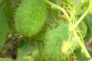Описание растения бешеный огурец