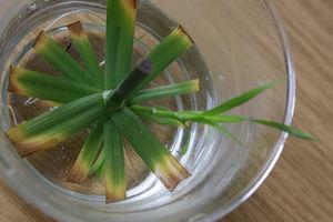 Как рассадить циперус
