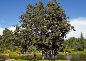 фото дерева и листьев ольхи