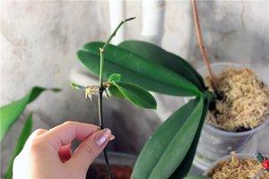 размножать орхидеи в домашних условиях