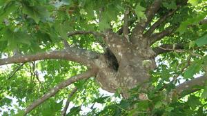 дерево платан
