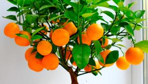 Вечнозеленое мандариновое дерево в домашних условиях
