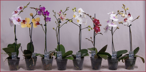 Растение орхидея фаленопсис