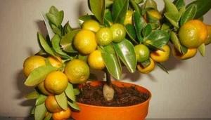 Пересадка мандаринового дерева