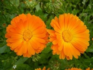 Чем полено растение календула