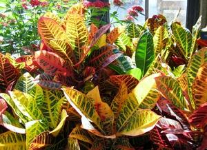 Растение Кротон