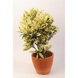 Растение Кротон Тамара
