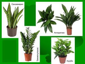 Комнатные тенелюбивые растения