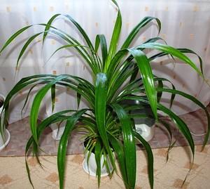 Панданус - красивая пальма