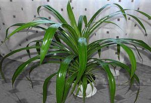 Панданус дома - как вырастить пальму