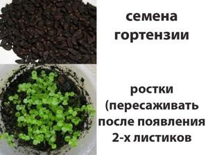Гортензия: особенности выращивания и ухода