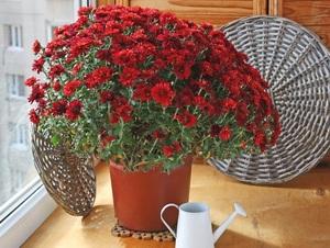 Горшечная хризантема в период цветения