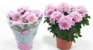 Хризантема Венту - нежно-розовые цветы