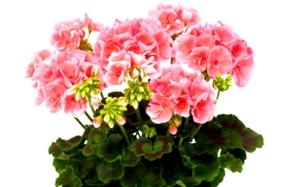 Густо-розовая герань