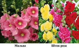 Описание растения шток роза