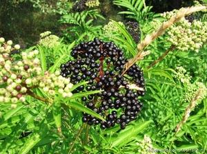Бузина черная - фото и описание, выращивание и свойства - Сайт о саде, даче и комнатных растениях
