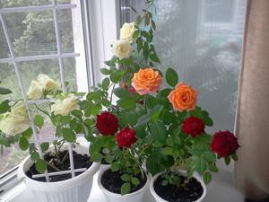 Особенности выращивания комнатных декоративных роз