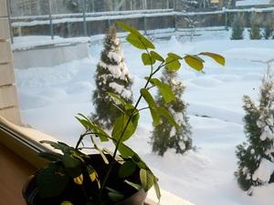 Особенности ухода за комнатной розой в зимний период