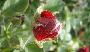 Причины проблем при выращивании комнатных роз