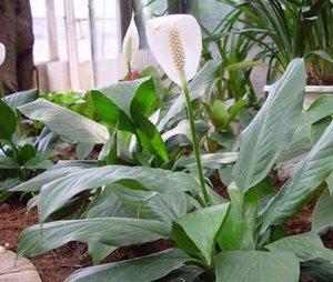 Белый спацифилум цветет