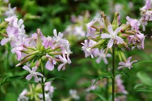 Мыльнянка лекарственная (Saponaria officinalis)