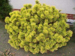 Сосна Winter Gold на садовом участке