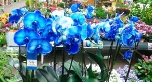Фаленопсис - голубая орхидея