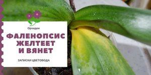 Почему у орхидеи фаленопсис желтеют листья