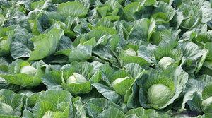 Как вырастить белокачанную капусту