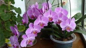 рассадить орхидею
