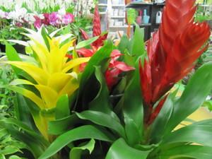 Как ухаживать за комнатным растением бромелия
