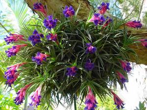 Бромелия цветок