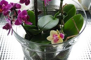 пересадить орхидею в домашних условиях