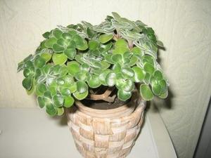 Особенности растения аихризон