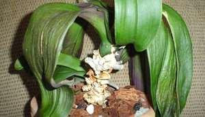 Как оживить орхидею фаленопсис