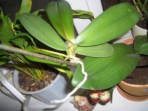Как сделать отростки орхидеи